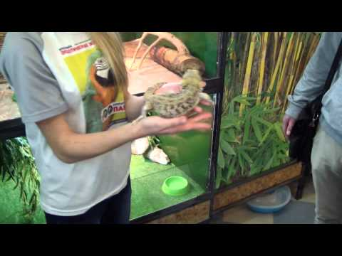 видео: Бородатая агама. pogona vitticeps.