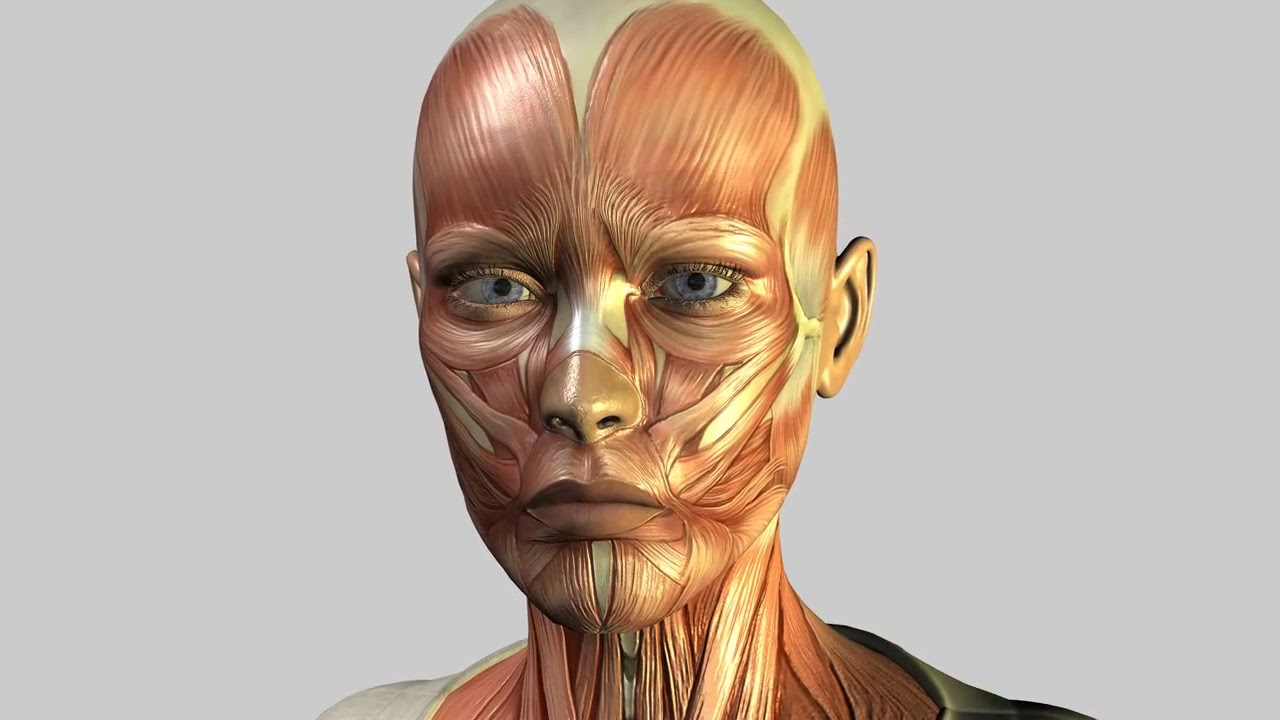 Nude picture of facial muscles