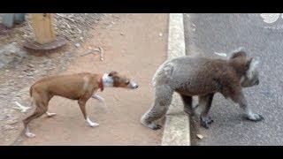 Dog Vs Koala