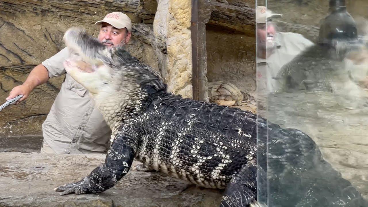 Alligator Feeding GONE EXTREME 🐊
