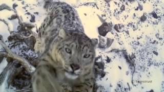 SNOW LEOPARD 絶滅危惧種ユキヒョウ