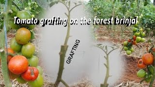 Tomato grafting on the forest brinjal and get double production.