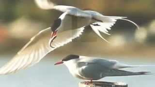 Video Arctic Tern Facts: 24 facts about Arctic Terns download MP3, 3GP, MP4, WEBM, AVI, FLV Agustus 2018