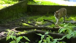 ŁÓDZKIE ZOO 2013 - Tygrys
