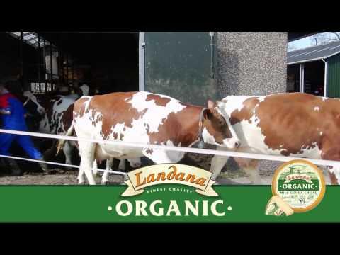 'Cow dance' Landana Organic