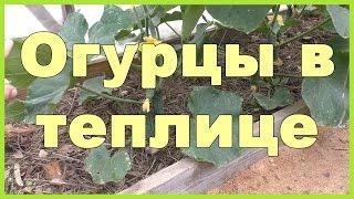 видео Выращивание огурцов в теплице
