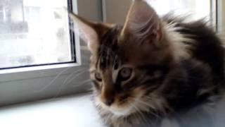 Мейн кун котёнок купить.Питомник кошек мейн кун_MisterCoon
