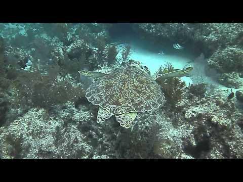 Patriot Scuba Videos | Turtle Sighting on the Jan. Key Largo Trip