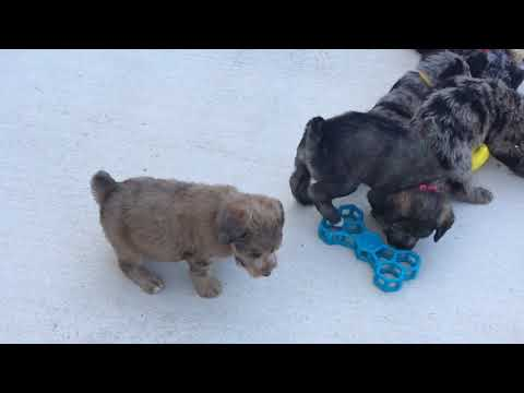 Mystic's schnoodle puppies 9/3/18
