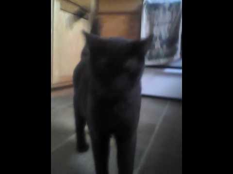 Rare Havana cat