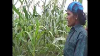 Maize cultivation, மக்காச்சோளம் சாகுபடி