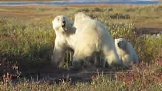 Female polar bear protecting her cub at Nanuk Polar Bear Lodge thumbnail