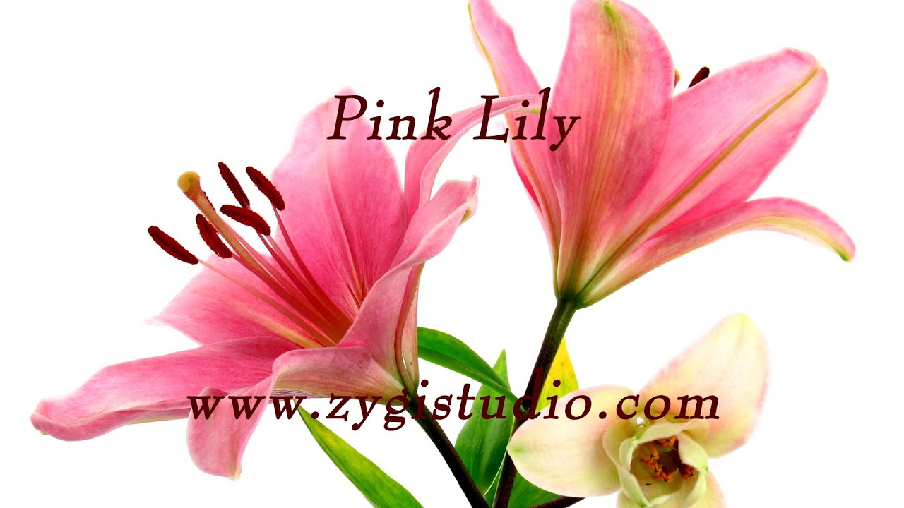 Time lapse of opening pink lily flower youtube time lapse of opening pink lily flower izmirmasajfo