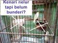 Cara Agar Burung Kenari Cepat Bunderi Ternak Kenari Cepat Kawin Jernih(.mp3 .mp4) Mp3 - Mp4 Download