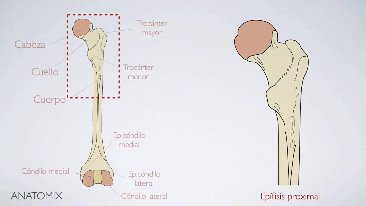 Anatomía del Fémur - YouTube