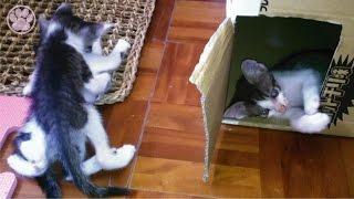 子猫の喧嘩が本気で母猫オロオロ「生後40日目」子猫がかわいい仔猫を...