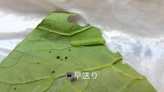 かんさつしよう〜モンシロチョウのよう虫〜