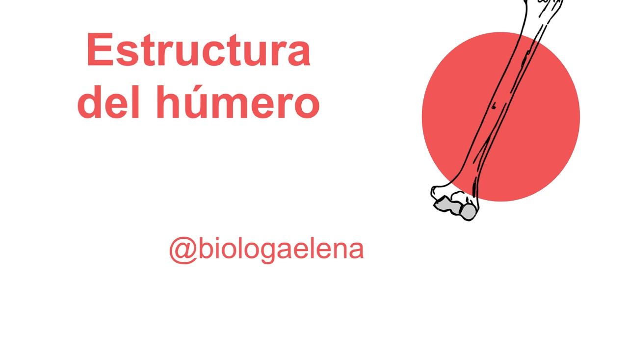 Estructura del húmero - Anatomía humana - YouTube