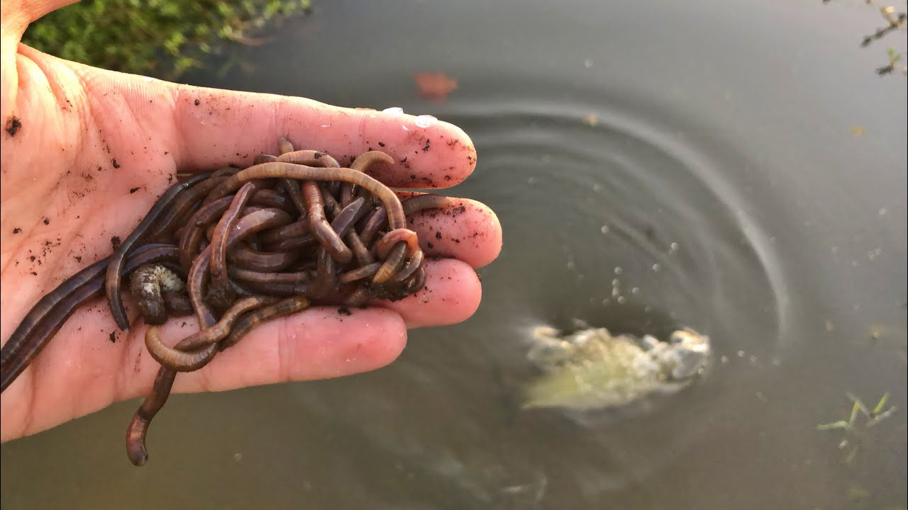 bass-love-worms