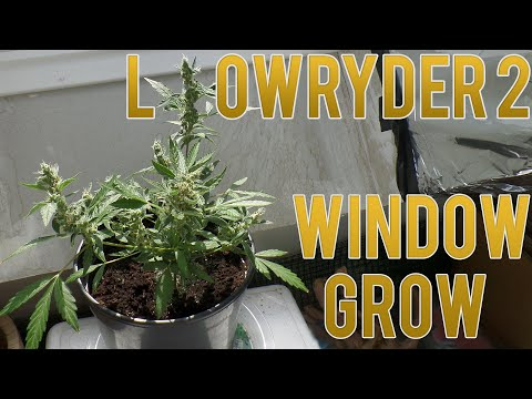 Lowryder 2 Automatic Window Grow | 70 Days From Seed To Harvest