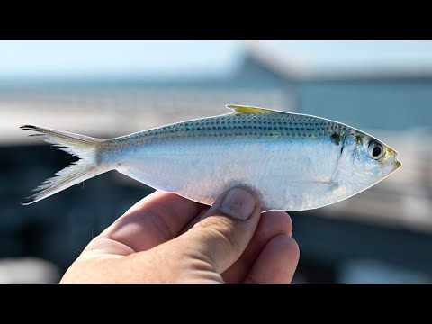Fishing With LIVE Threadfin Off The Skyway Fishing Pier