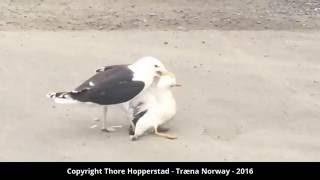 Seagull attacks seagull - Brutal wild life drama