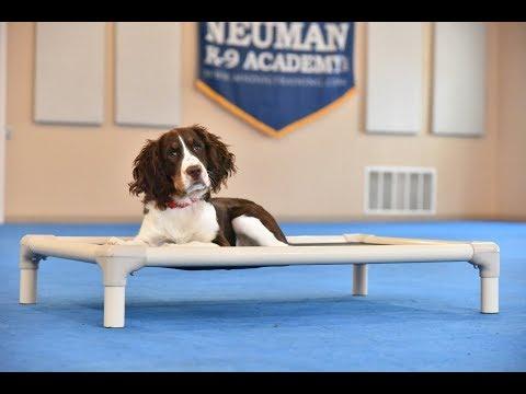 Molly (Springer Spaniel) Puppy Camp Dog Training Video Demonstration