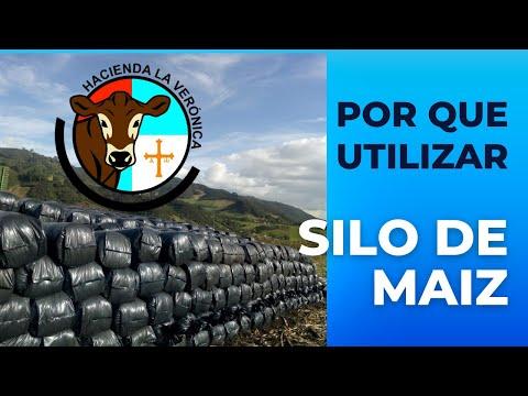 POR QUE UTILIZAR SILO DE MAIZ PARA LA ALIMENTACION DE VACAS LECHERAS