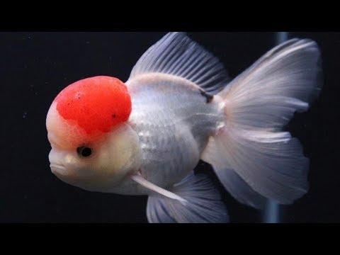 What Size Tank For Goldfish? | Goldfish Tank Size