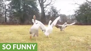 Excited geese run to greet their owner