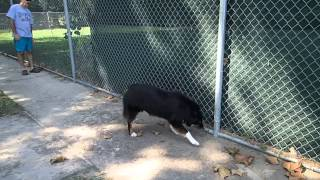 Australian Shepherd Brodie Says Hello To Neighbor Dog Rottweiler German Shepherd Mix Scout
