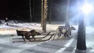 Наши олени на съемке сериала Гюльчатай