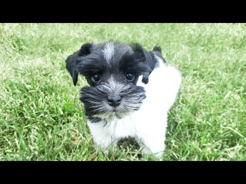 3 Adorable Schnauzers Learning How to Sit for Food