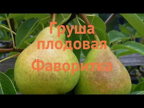 Груша плодовая Фаворитка (pyrus communis favoritka) 🌿 обзор: как сажать, саженцы груши Фаворитка