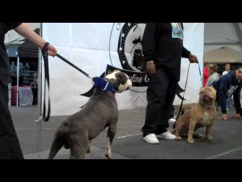 A.B.B.A. BULLY SHOW SMOKIE AT THE BULLY PITBULL SHOW WITH BLUELINEFAMILY DAL MAR CALIFORNIA