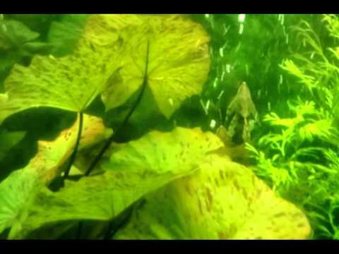 СТУРИСОМЫ (STURISOMA PANAMENSE). Нерест в общем аквариуме.