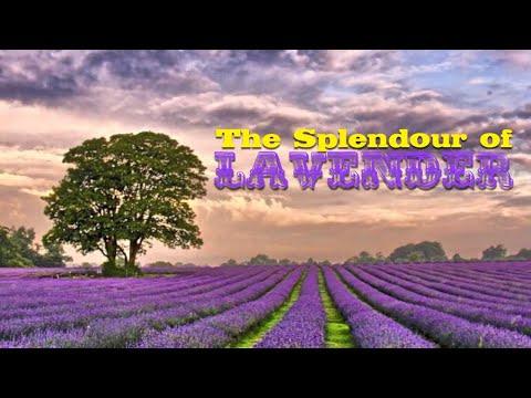 THE SPLENDOUR OF LAVENDER L'elisir D'amore - Café Del Mar