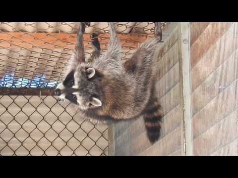Raccoons At The Wetlands And Wildlife Care Center