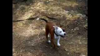 "Staffordshire Bull Terrier And Puppy ""arko E India"""