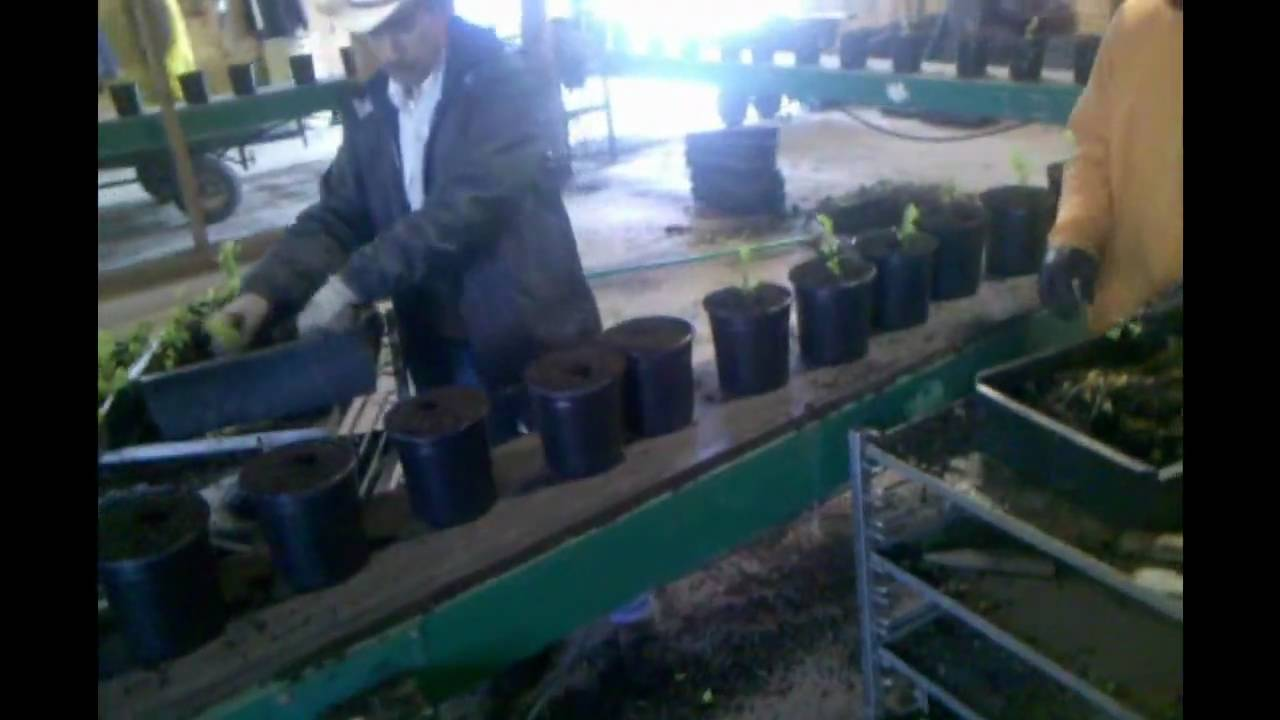 Walla Nursery Potting Embly Line