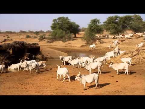 Cows drinking, Guidimaka, Mauritania