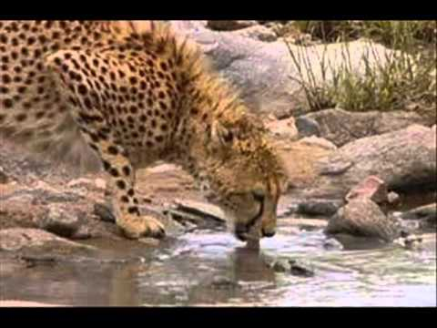 Cool Cheetah Facts For Kids - Facts About Cheetahs - Amazing Animals