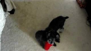 Teacup Poodle Vs. Miniature Schnauzer
