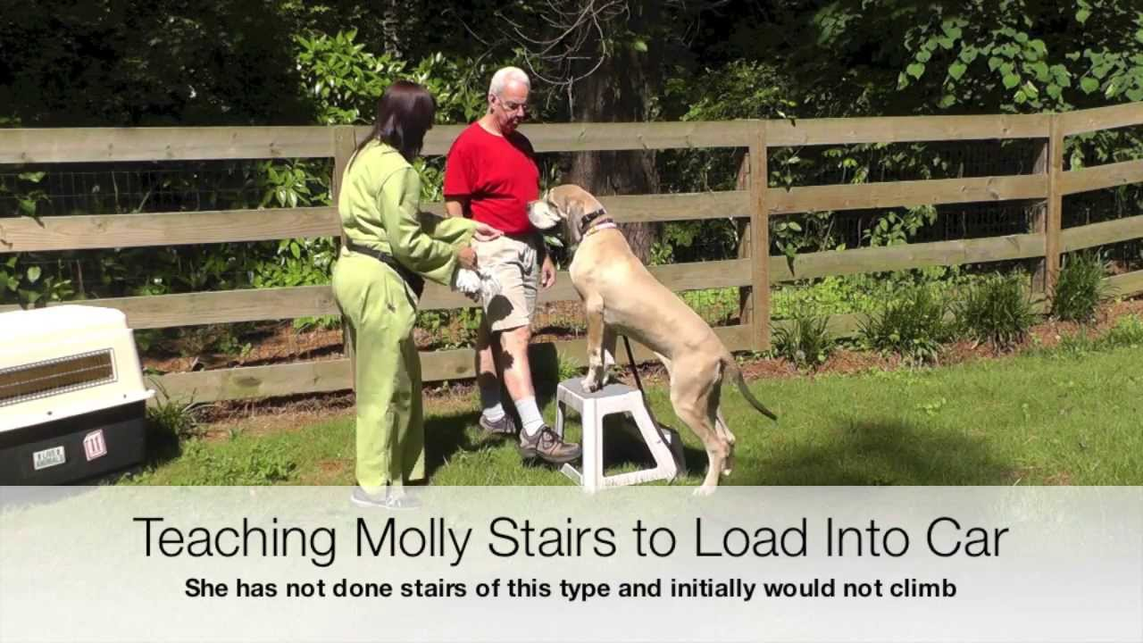 Dog Training Great Dane Car Crate Training Stairs Loose