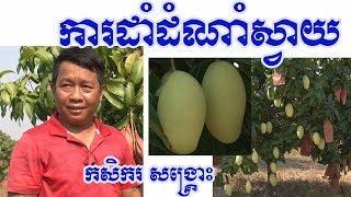 Mango business #36/ Farmer Sangkros 👍