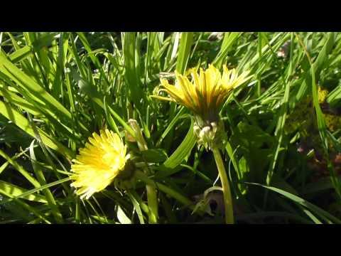 Dandelion - Túnfífill - Fíflar  í blóma