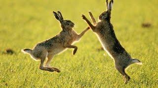 Охота на зайца 2016, два зайца соседа