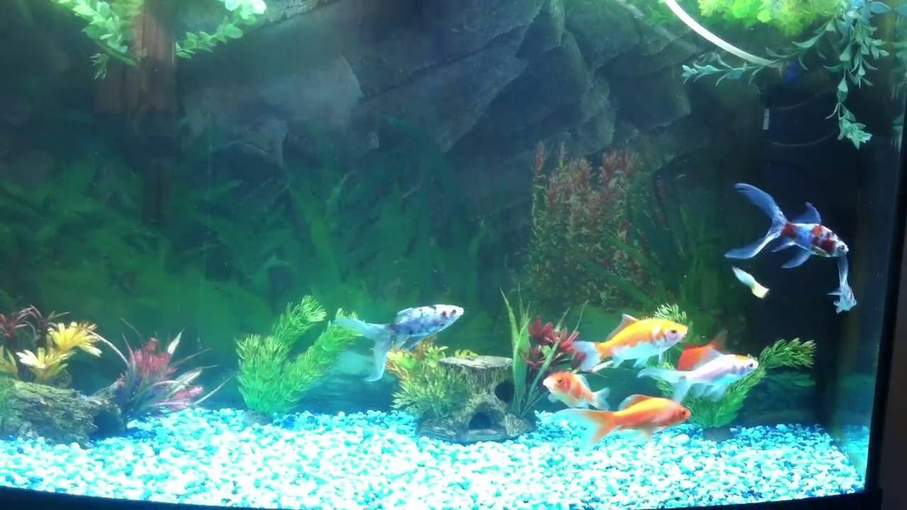 Goldfish Guppy And Molly Community Tank Youtube