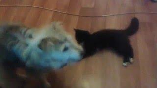 ЗВЕРСКОЕ нападение кота на собаку !!! 18+ детям не смотреть