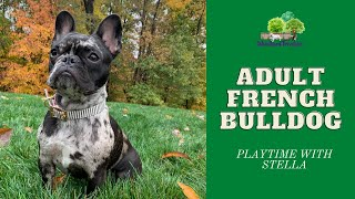 Adult French Bulldog & Adult Frenchton - Playtime With Stella